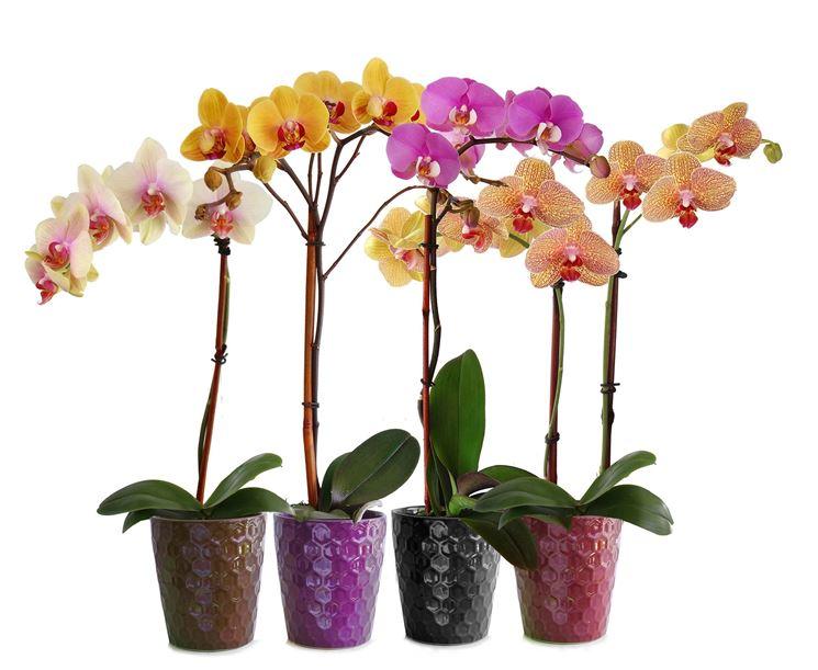 Varietà di Orchidea Phalaenopsis
