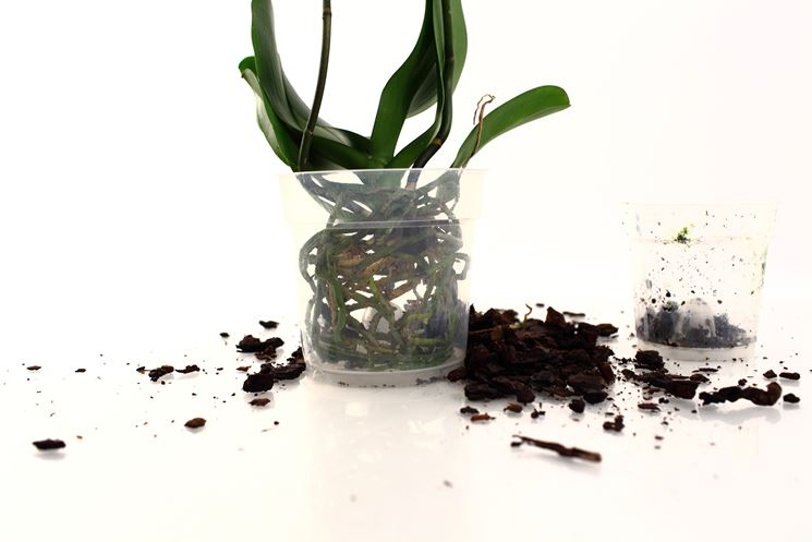Orchidea con radici a vista