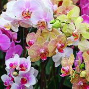Orchidee da appartamento