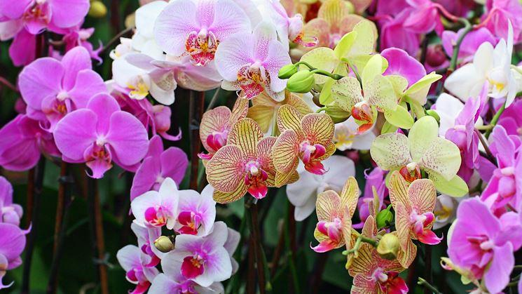 Curare le orchidee orchidee cura delle orchidee in casa - Orchidee da appartamento ...