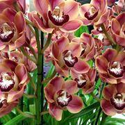 Cymbidium fioritura