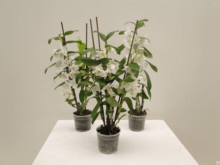Struttura Dendrobium nobile.