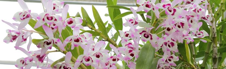 pianta dendrobium