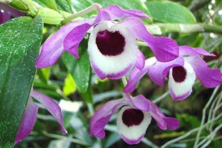 Dettaglio infiorescenza Dendrobium nobile.