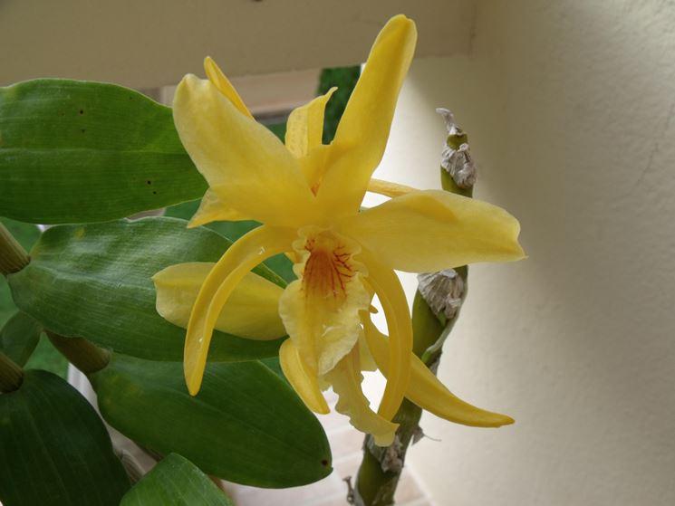 Esemplare di Dendrobium nobile.