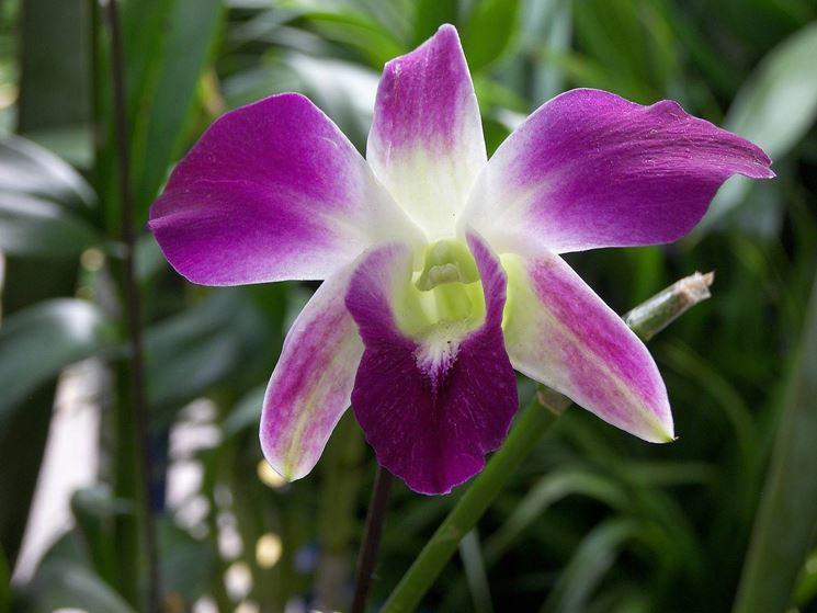 fiori Dendrobium