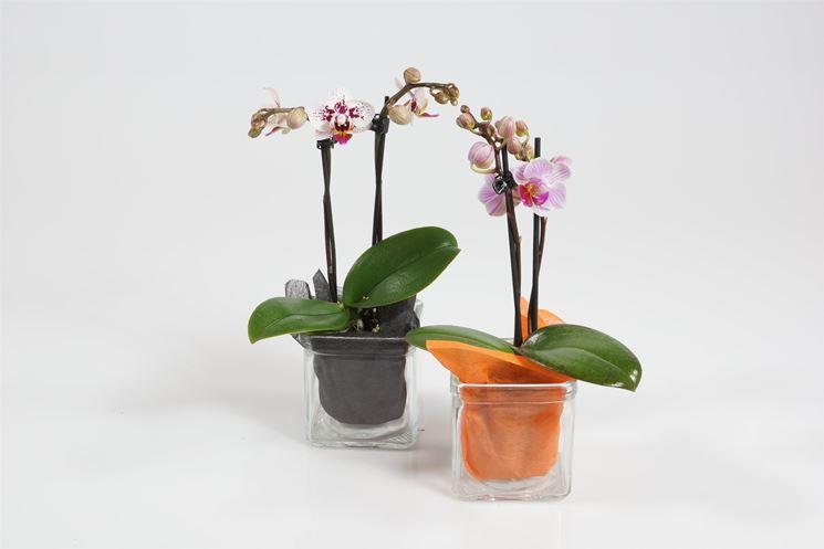 orchidee mini