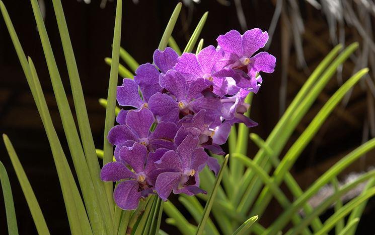 Orchidea cattleya in vaso
