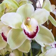 Orchidea Cymbidium di colore bianco