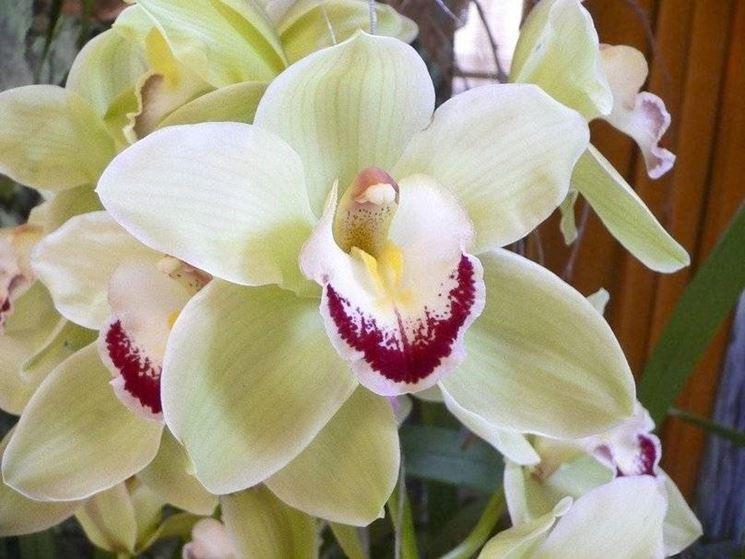 Orchidea cymbidium orchidee coltivare l 39 orchidea cymbidium - Orchidea da esterno cymbidium ...