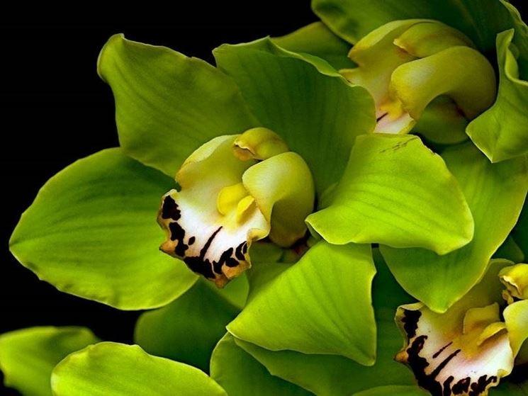 Orchidea Cymbidium di colore verde