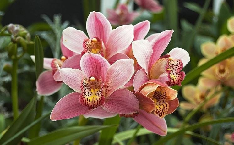 Orchidea Cymbridium di colore rosa