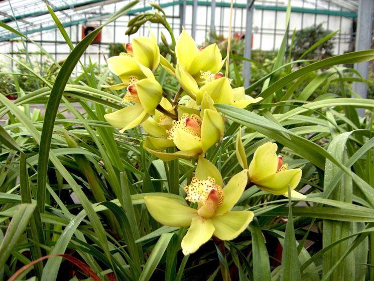 Orchidea Cymbridium di colore giallo
