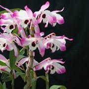 Dendrobium nobile fiori