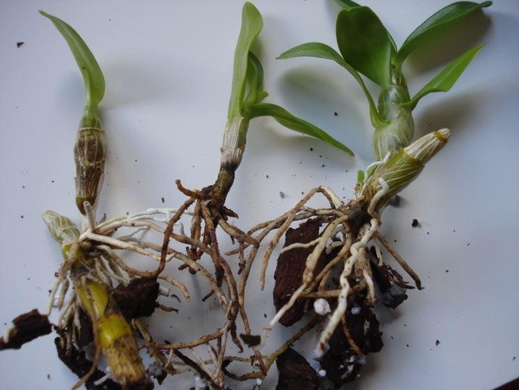 Keiki di Dendrobium nobile