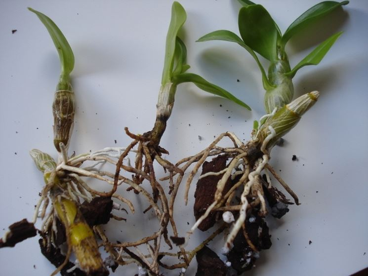 orchidea dendrobium nobile orchidee coltivare dendrobium nobile. Black Bedroom Furniture Sets. Home Design Ideas