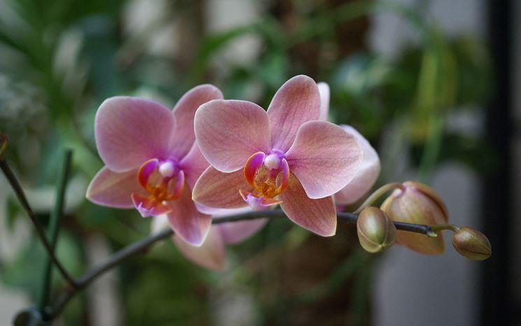 Orchidea fiori e boccioli