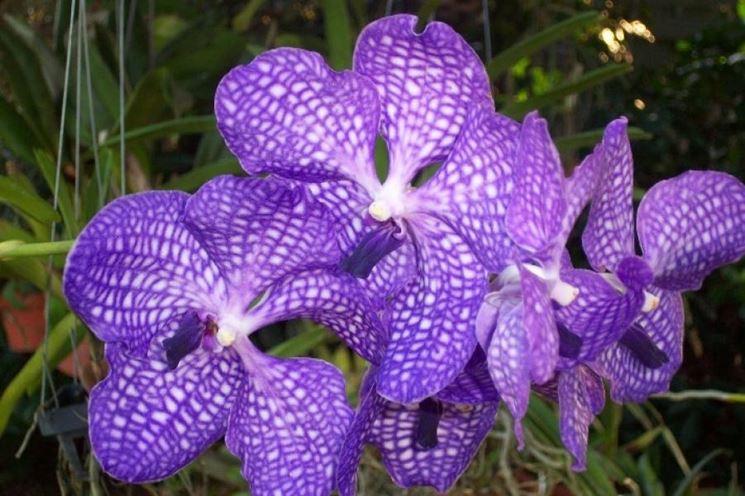Orchidea Vanda fioritura