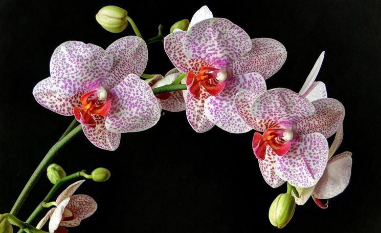 concimazione orchidea