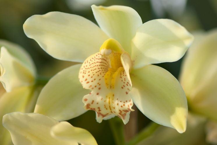 malattie orchidea