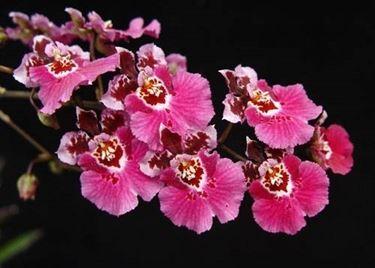 fiori orchidea <em>oncidium</em>