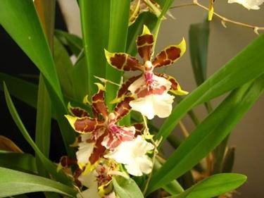 fiori orchidea oncidium