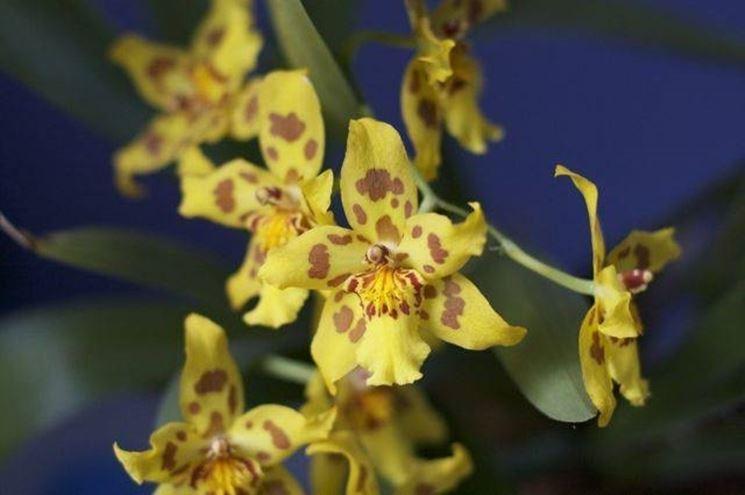 fiori <em>orchidea oncidium</em>