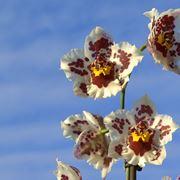 fiore orchidea cambria