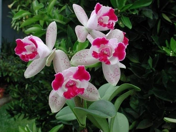 Orchidee Cattleya