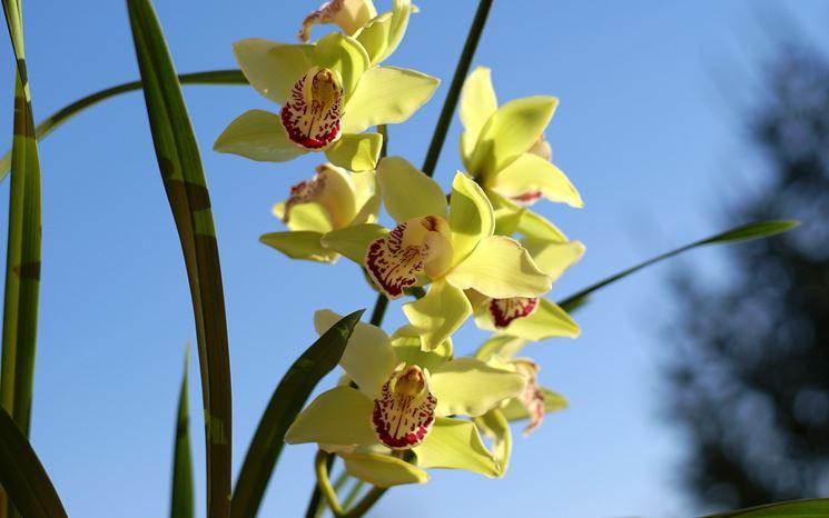 Orchidee cymbidium orchidee orchidee cymbidium - Orchidee da appartamento ...
