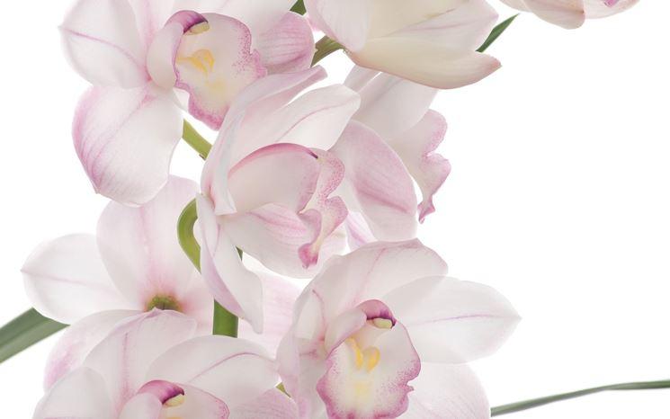 fiori orchidea Dendrobium