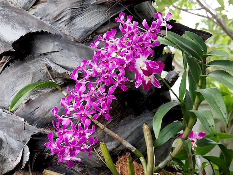Orchidee dendrobium orchidee orchidee dendrobium - Orchidee da appartamento ...