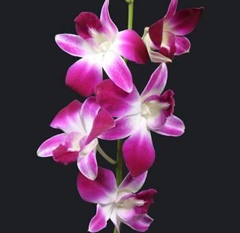 orchidee dendrobium orchidee orchidee dendrobium piante da appartamento. Black Bedroom Furniture Sets. Home Design Ideas