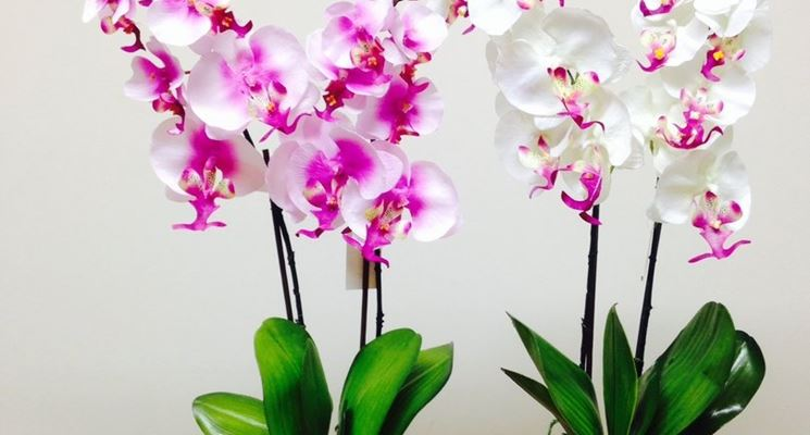 orchidee in casa