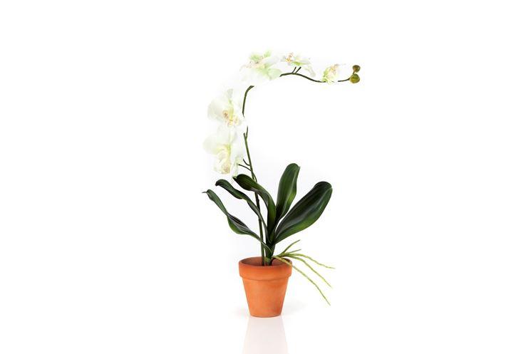 Orchidea in vaso