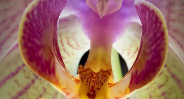 orchidea Phalaenopsi