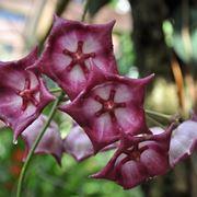 orchidea rara