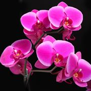 Dettaglio infiorescenza Phalaenopsis.