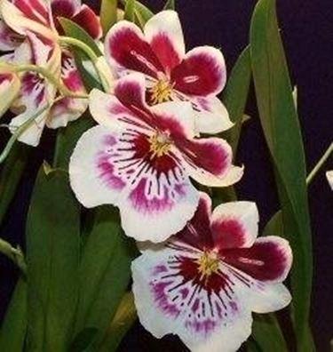 Orchidea significato greco