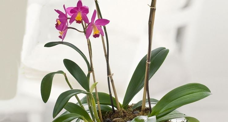 Piante di orchidee orchidee orchidee piante for Orchidea pianta