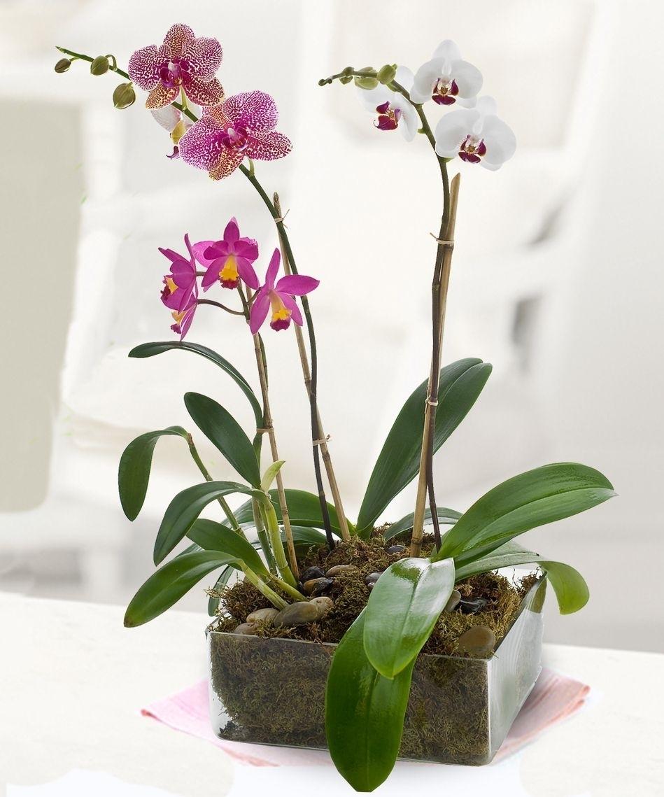 Piante di orchidee orchidee orchidee piante for Concime per orchidee