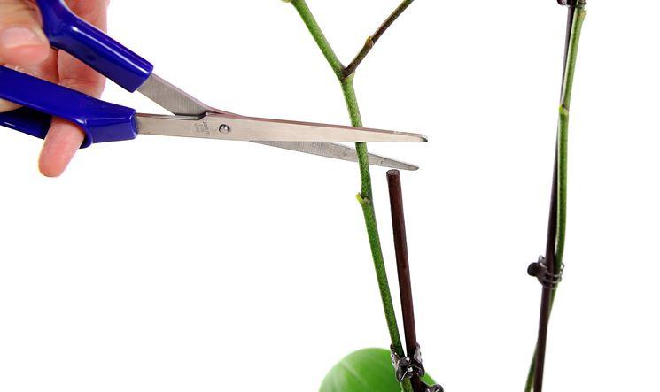 Potare orchidea orchidee come potare un 39 orchidea for Nuovo stelo orchidea