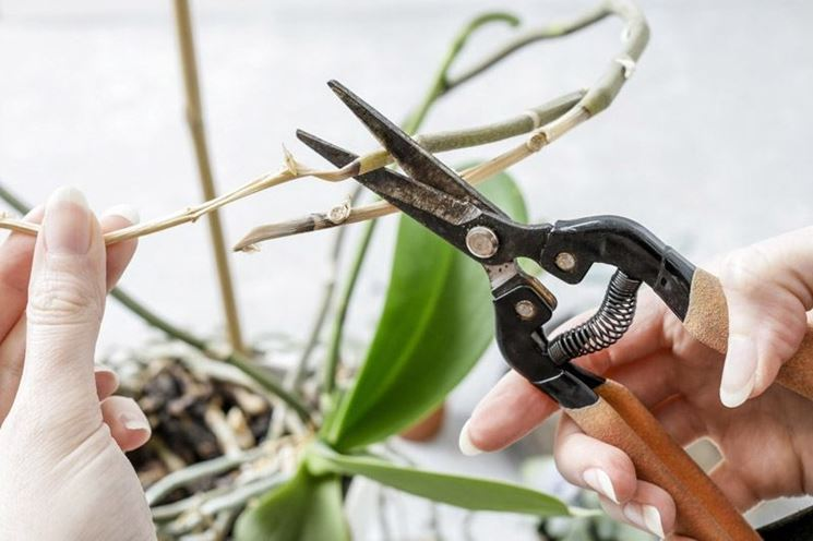 potatura orchidee