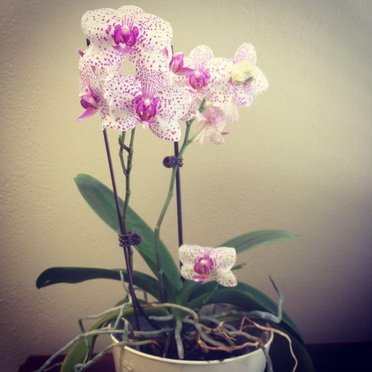 orchidea bianca.