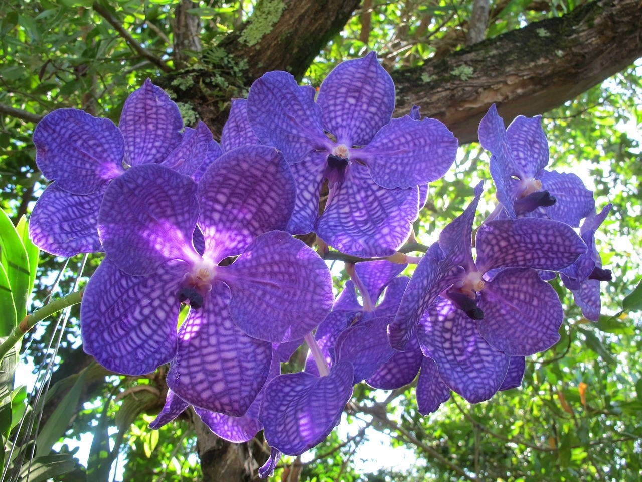 vanda orchidee orchidea vanda. Black Bedroom Furniture Sets. Home Design Ideas