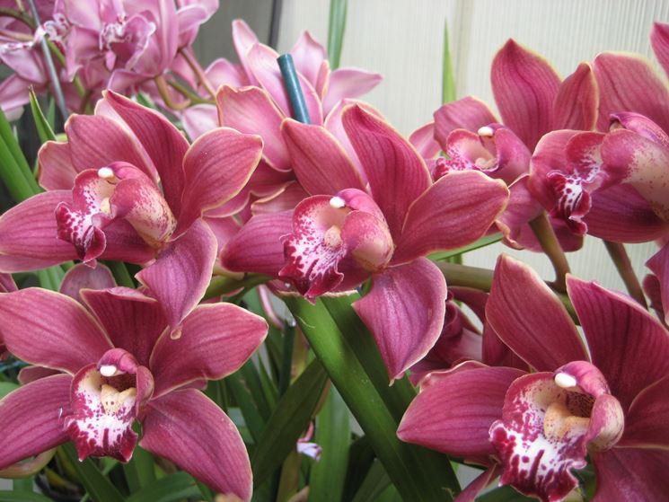 orchidee san valentino