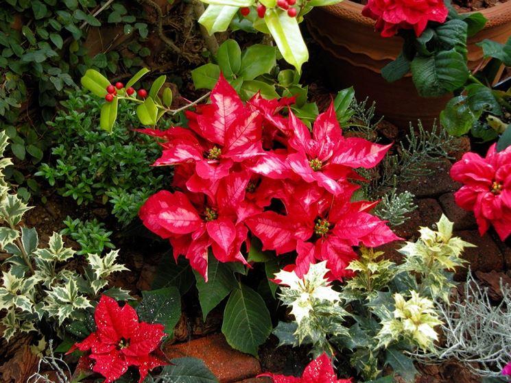 Piante Da Appartamento Regalo.5 Piante Da Regalare A Natale Piante Da Interno Piante Per Natale