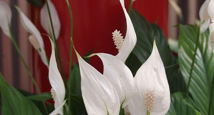 Anthurium bianco - Piante da interno - Anthurium bianco
