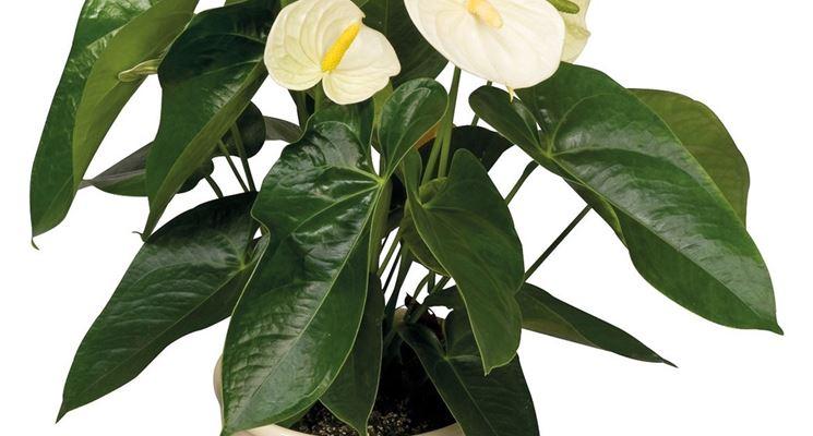 Varietà di Anthurium bianco