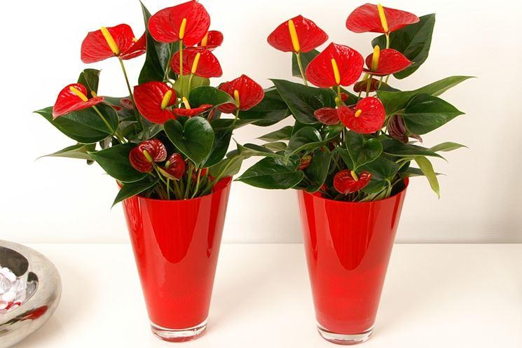 piante Anthurium